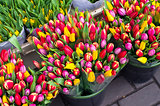 Tulips at the flower market in Amsterdam.