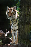 Bengal tiger panthera tigris tigris in captivity