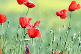 wild red poppies on meadow