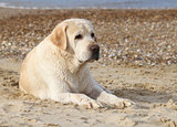 labrador at the sea portrait close