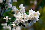 Flowered mock-orange (Philadelphus) closeup