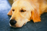 Lost Homeless Hungry Golden Labrador Retriever Dog ​​Sleepin