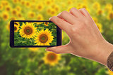 Making snapshots of sunflowers with mobile smart phone