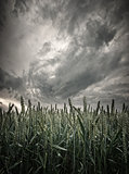 stormy wheat field view