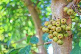 Thai Figs Tree in the garden