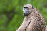 Curious Chacma Baboon