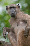 Curious Chacma Baboon scratching an itch