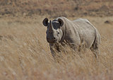 Black Rhino male on an African plain