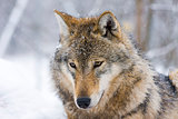 Gray wolf (Canis lupus) in winter