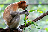 A proboscis monkey