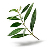 Fresh olive tree branch