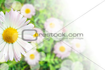 Card composition of daisy flower blossom with transparent gradient