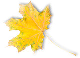 Yellow Autumn Maple Leaf With Green Spots