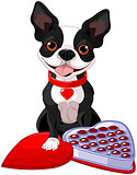 Valentine day Boston terrier