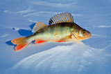 Big fish perch on blue ice .