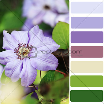 Clematis Color Palette