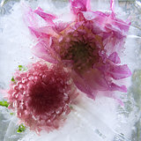 Frozen   flower of   georgina