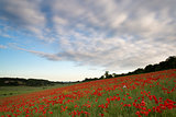 Poppy fields landscape Summer sunset.