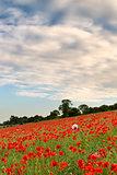 Poppy fields landscape Summer sunset.