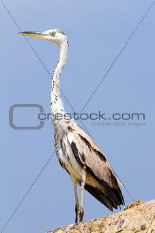 Great Egret bird against the blue sky