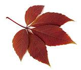 Red autumn virginia creeper leaf on white background