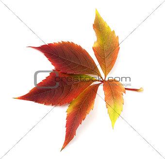 Autumn grapes leaf