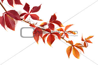 Branch of red autumn grapes leaves