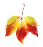 Multicolor autumn virginia creeper leaves