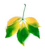 Multicolor virginia creeper leaves