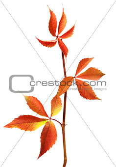 Branch of autumn grapes leaves (Parthenocissus quinquefolia foli