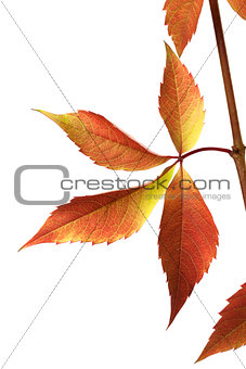 Autumn grapes leaves (Parthenocissus quinquefolia foliage)