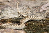 young european sand viper