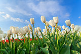 white tulip field over blue sky