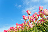 pink tulips on field over blue sky