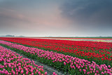 spring tulip field at sunset