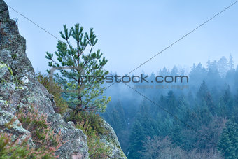 pine tree on rock stone in fog