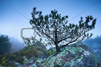 pine tree on rock in foggy mountains
