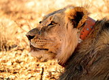 Survivor of the Kalahari