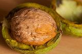 walnut ripe