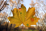 Beautiful yellow maple