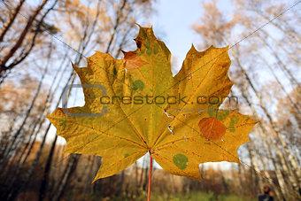 Beautiful yellow maple