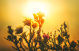 Sun Backlit Flower in Sunset Atmosphere