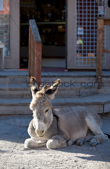 Baby Burro Resting on Street