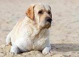 labrador at the sea portrait in the sand