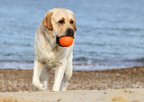 labrador playing with a ball