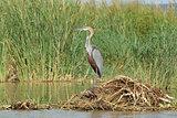 Heron, Lake Chamo, Ethiopia, Africa