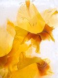 Frozen   flower of   gladiolus