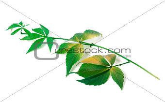 Branch of grapes leaves (Parthenocissus quinquefolia foliage)