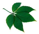 Green virginia creeper leaf on white background