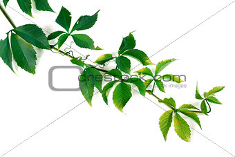 Branch of green grapes leaves